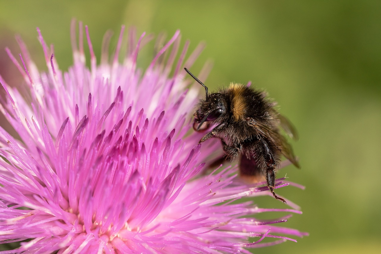 Milk Thistle – Amazing Benefits for Skin and Health