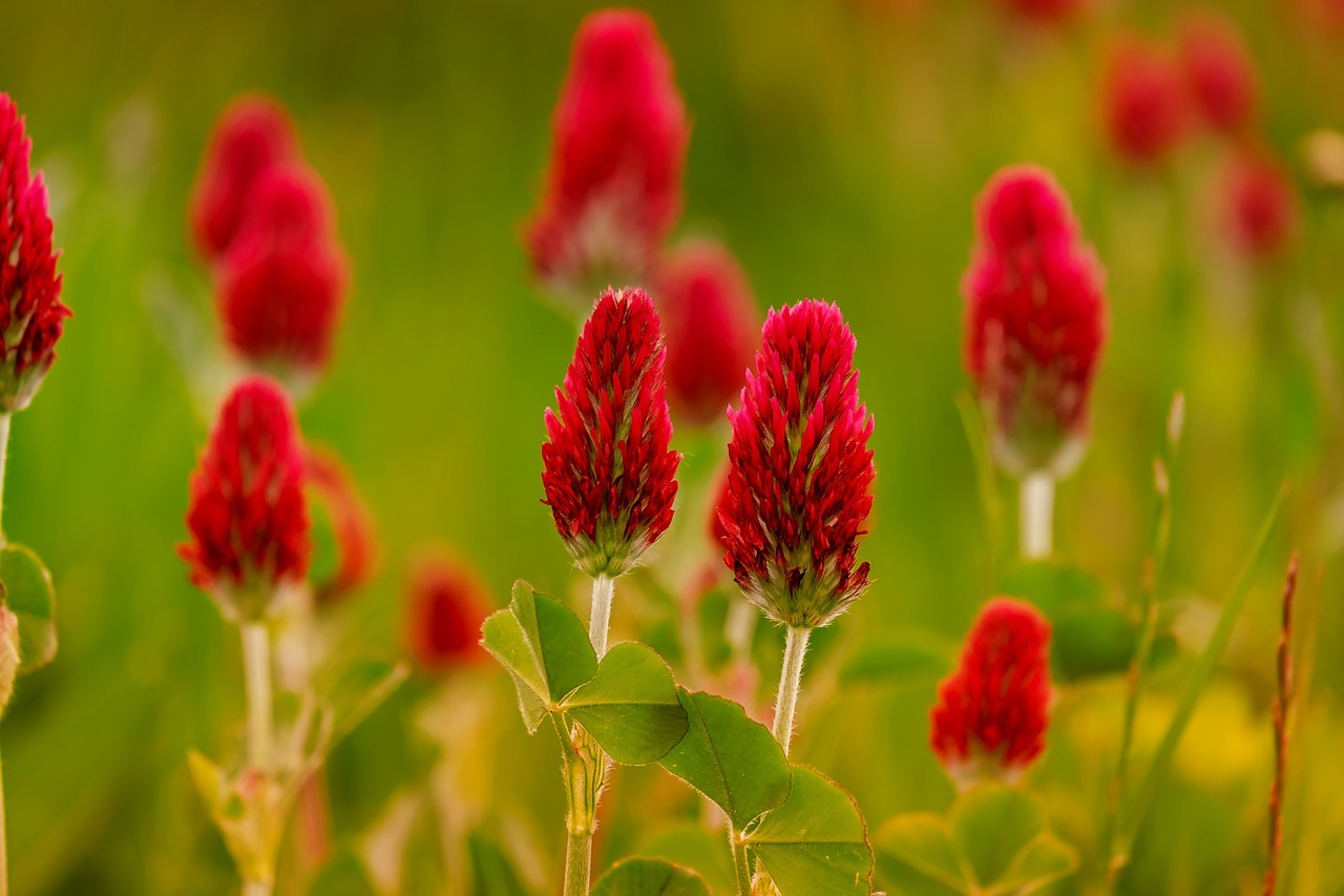 Red Clover Benefits for the Symptoms of Menopause