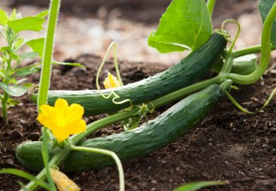 Cool Cucumber has Many Health Benefits