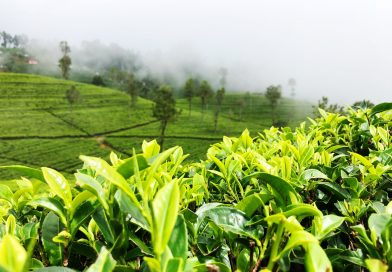 The Many Properties of Tea Tree Oil