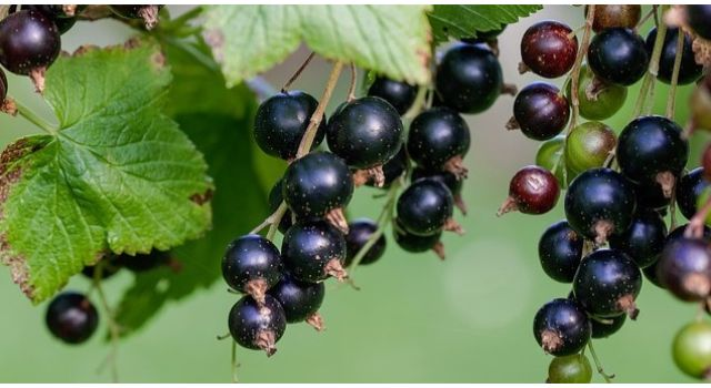 blackcurrants-how to grow