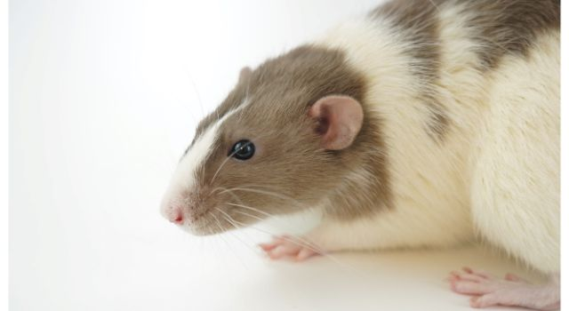 High Fat Diet in Rats Linked to Obesity in Humans